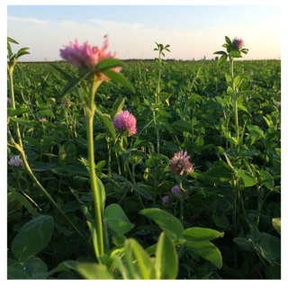 La Crosse Duration 3-Year Red Clover Seed