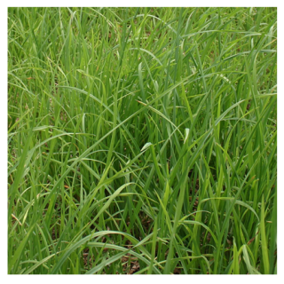 Potomac Orchard Grass Seed