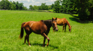Two healthy horses grazing in a field.